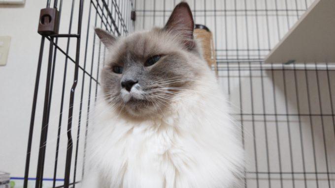苦々しい顔をしているプリューシュ。ラグドール・ブルーポイントミテッドの猫。