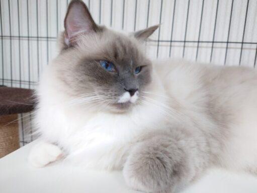猫用ケージの中でくつろぐラグドールのプリューシュ。青い目をしている猫。